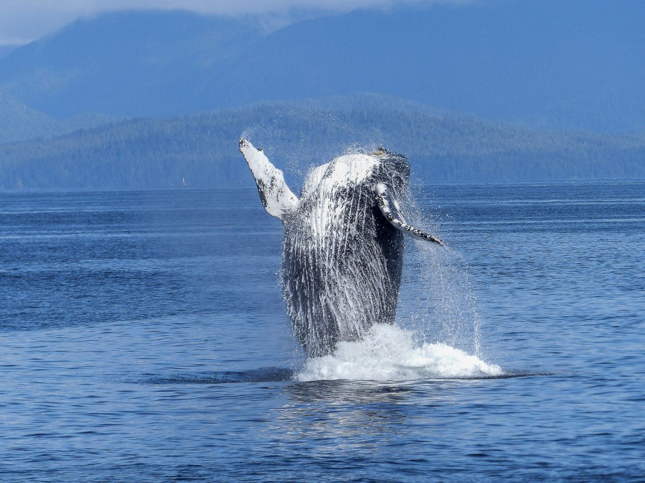 Whale breaching water