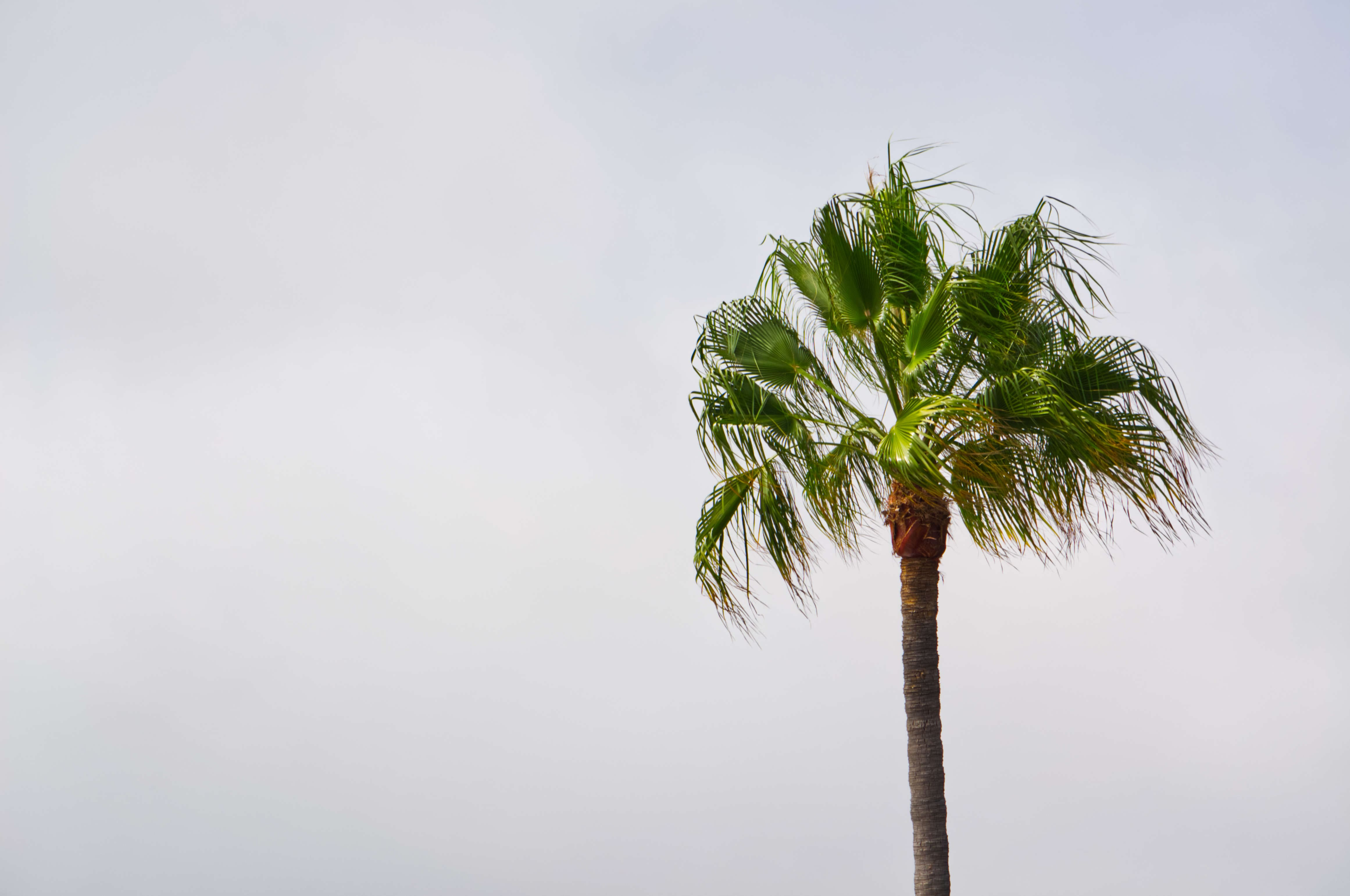Palm tree from Paradise Cove